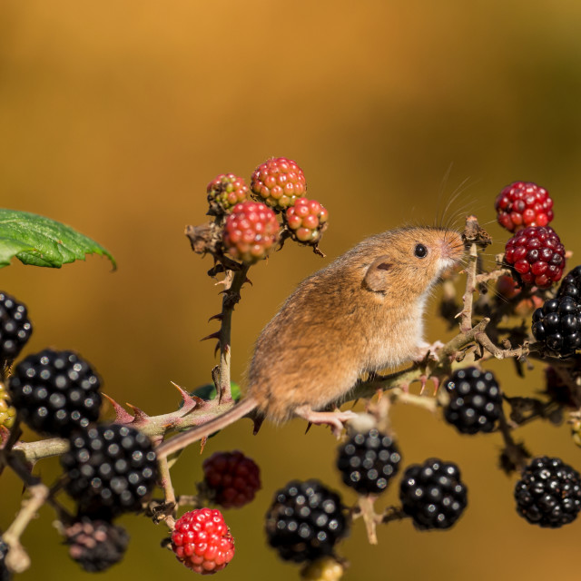 """Sniffing The Berries"" stock image"