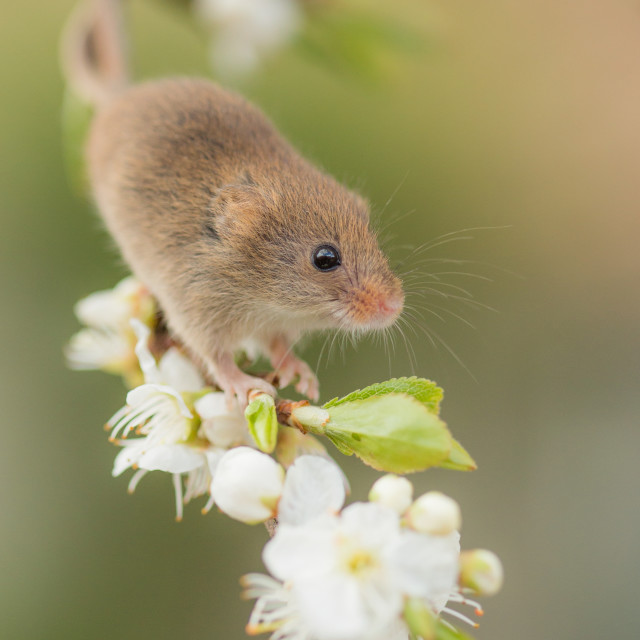 """Blossom Mouse"" stock image"