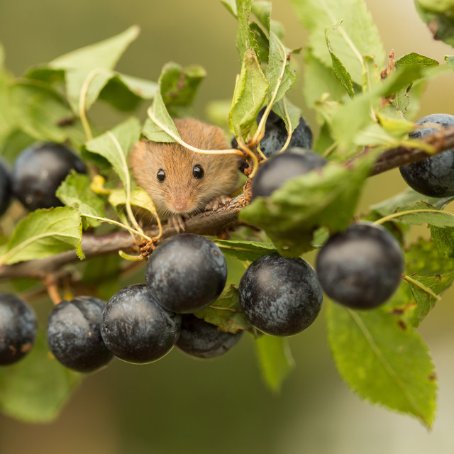 """Harvest Mouse in Sloe Berries"" stock image"
