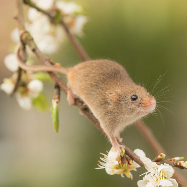 """Spring Mouse"" stock image"