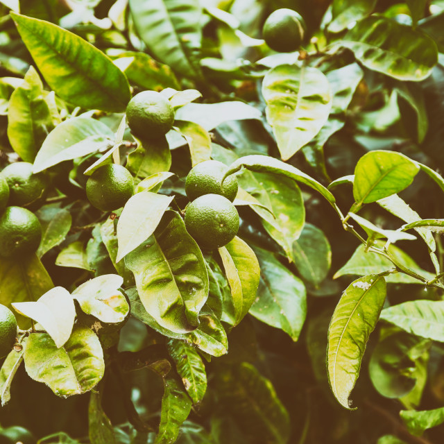 """Fresh Green Oranges In Tree"" stock image"