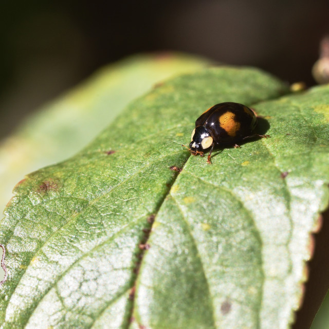 """""""Two spotted Harlequin Ladybird"""" stock image"""