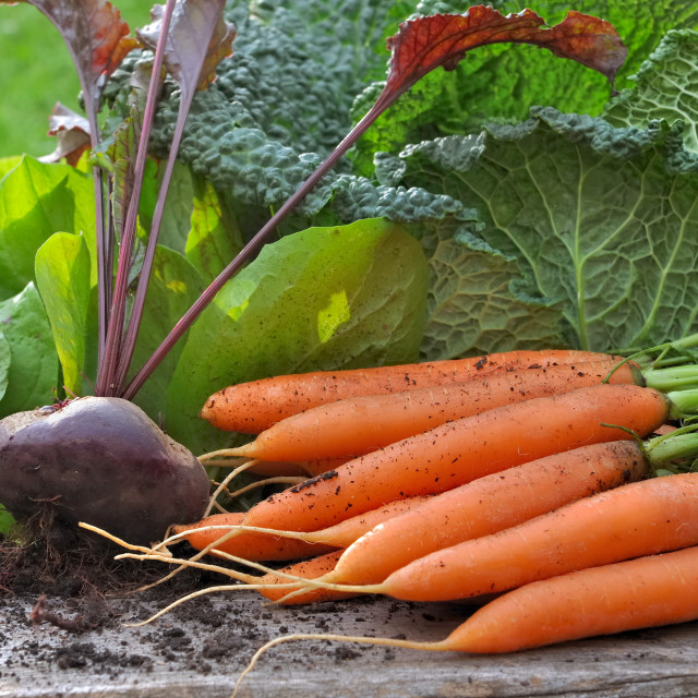 """""""carrot, beetroot and cabbage in garden"""" stock image"""