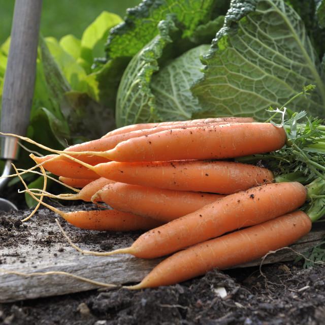 """""""fresh carrots in vegetable garden"""" stock image"""