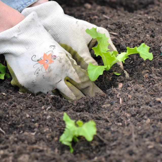 """planting seedlings in garden"" stock image"