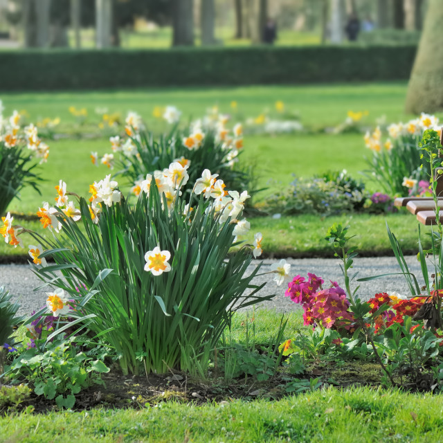 """""""daffodils in a city park"""" stock image"""