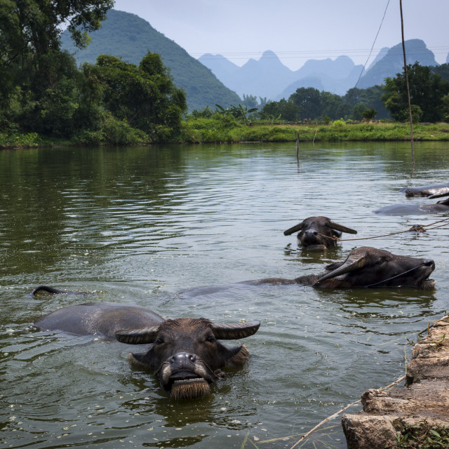 """Water buffalo in a river in the outskirts of the town of Yangshuo in Chine with the tall limestone peaks on the bacground."" stock image"