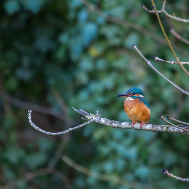 """Common Kingfisher (Alcedo atthis)"" stock image"