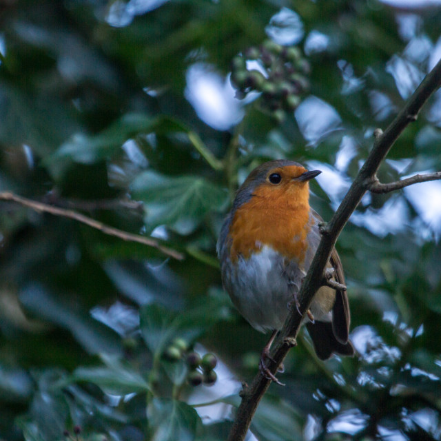 """European Robin (Erithacus rubecela)"" stock image"