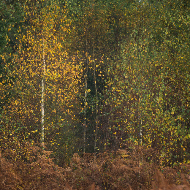"""Autumn colour in Sherwood Forest"" stock image"