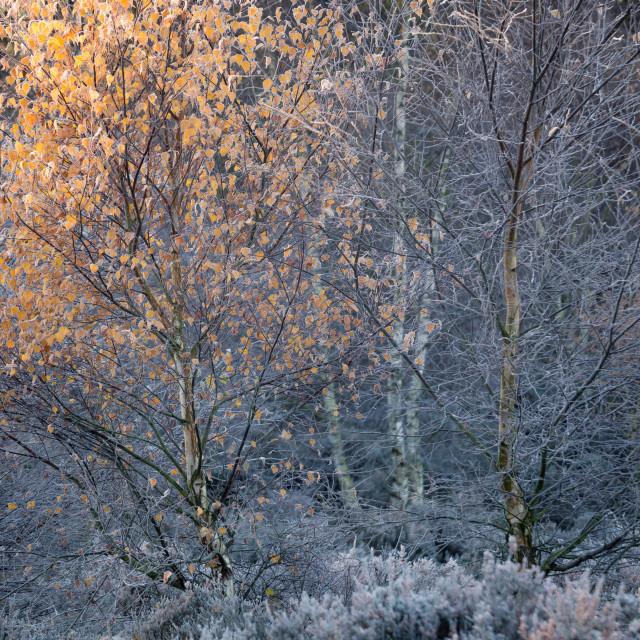 """Frosty Autumn morning on Budby Heath at Sherwood"" stock image"