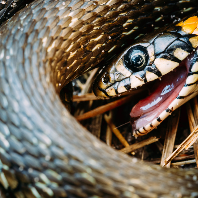 """""""Grass-Snake, Adder In Early Spring"""" stock image"""