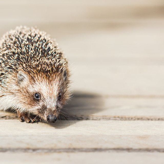 """Cute Funny Lovely Hedgehog Standing On Wooden Floor"" stock image"
