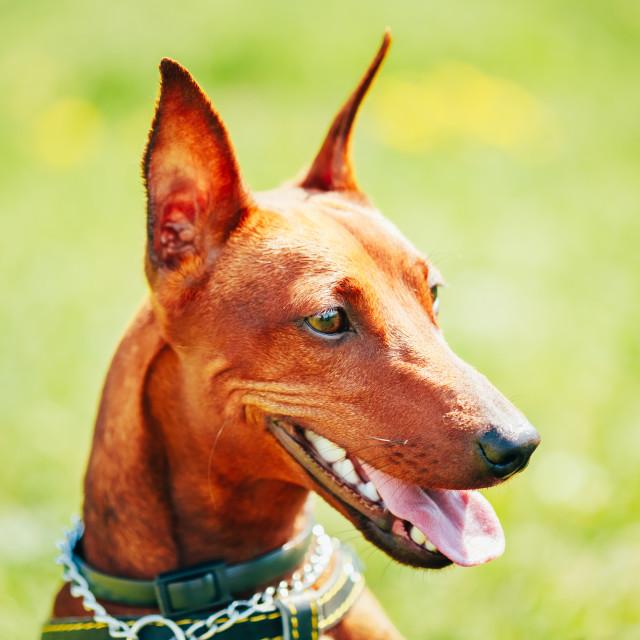 """Close Up Brown Dog Miniature Pinscher Head"" stock image"