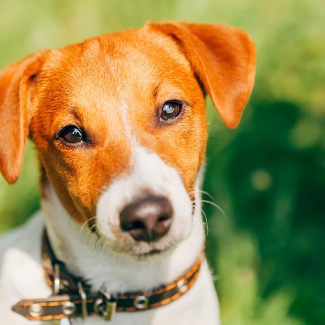 """Dog jack russel terrier"" stock image"