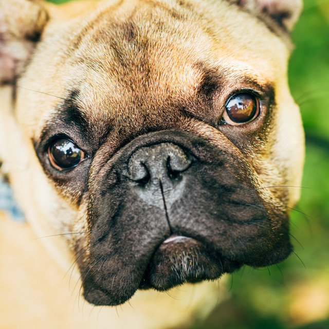 """Dog French Bulldog"" stock image"