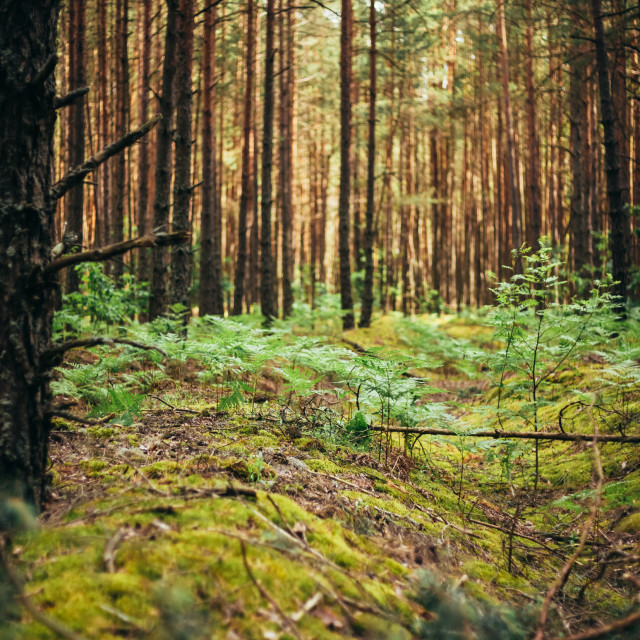 """""""Old World War Trenches In Forest Since Second World War, Belarus"""" stock image"""