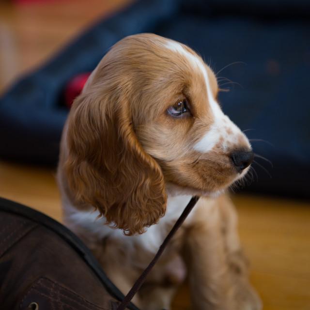 """Mischievous puppy"" stock image"