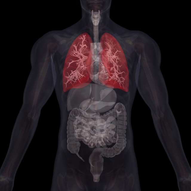 """""""Biomedical illustration showing human internal organs with lungs indicated in red"""" stock image"""