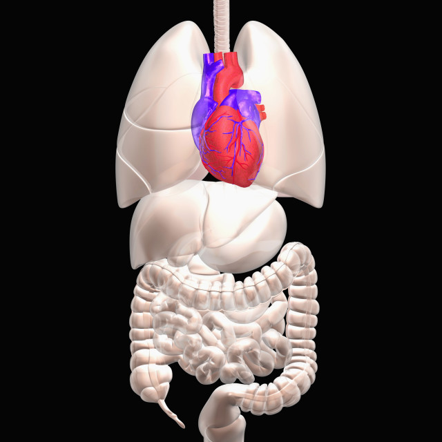 """""""Biomedical illustration showing human internal organs with heart indicated in red"""" stock image"""