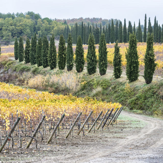 """""""Italy, Tuscany, Ciacci Piccolomini D'Aragona, Harvested grapevine rows and cypress alley"""" stock image"""