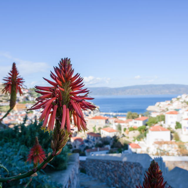 """""""Torch Lily flower and panorama of Hydra port, an island in Peloponnese, Greece."""" stock image"""