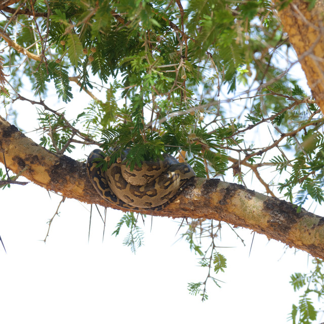 """""""African rock Python (Python sebae) safe up a tree to avoid getting trampled..."""" stock image"""