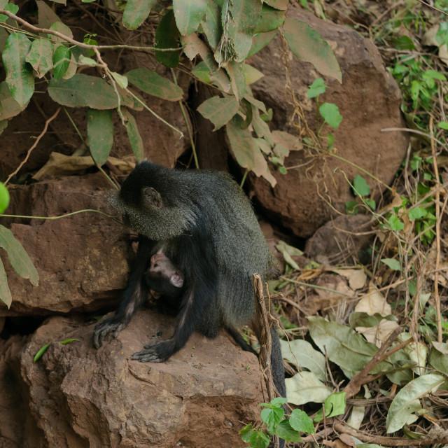 """Blue monkey's (Cercopithecus mitis) in Lake Manyara National Park"" stock image"