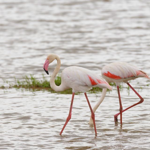 """""""Flamingo's"""" stock image"""