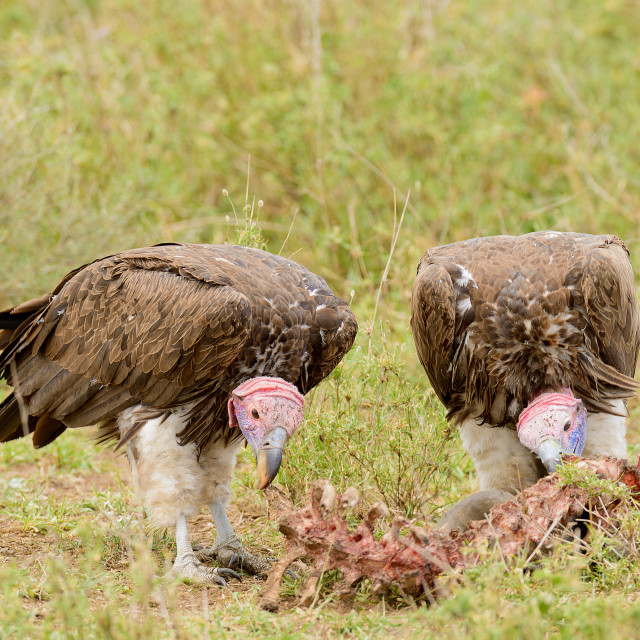 """Lappet-faced Vultures (Torgos tracheliotos) picking on a carcass on the..."" stock image"