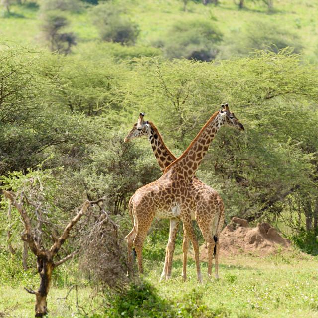 """""""Masai Giraffe"""" stock image"""