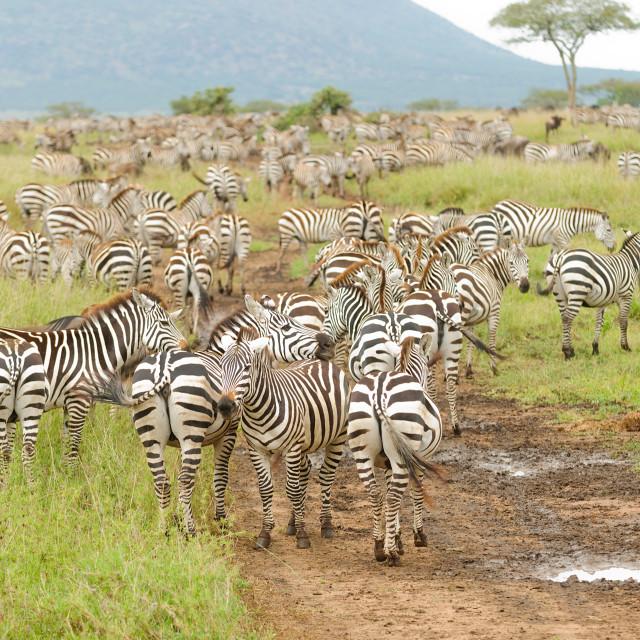 """Burchell's Zebra"" stock image"