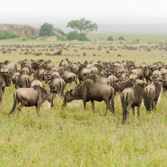 """""""Wildebeest"""" stock image"""