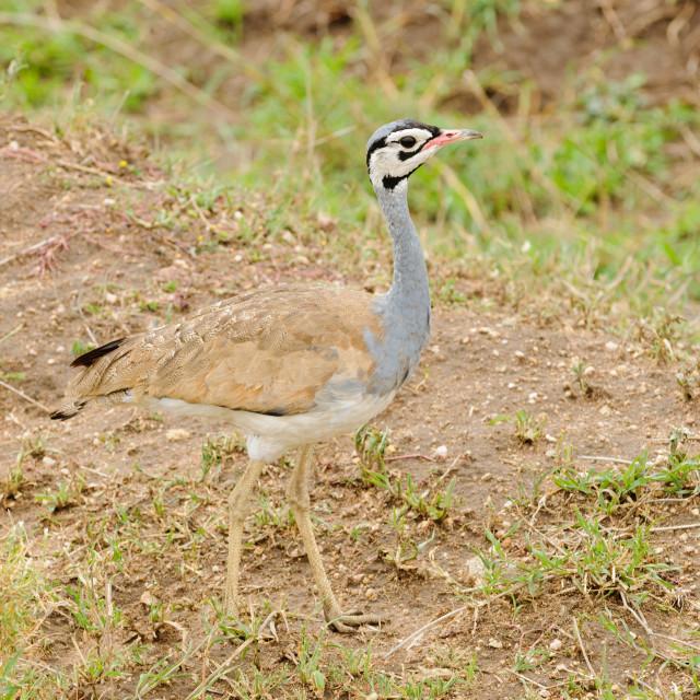 """White-bellied Bustard (Eupodotis senegalensis) in the Northern Serengeti"" stock image"