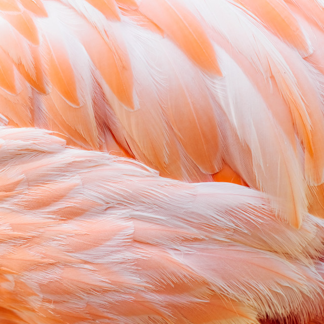 """Pink Flamingo Feathers Closeup Details"" stock image"