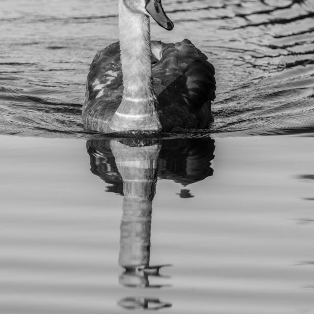 """Reflecting Swan"" stock image"