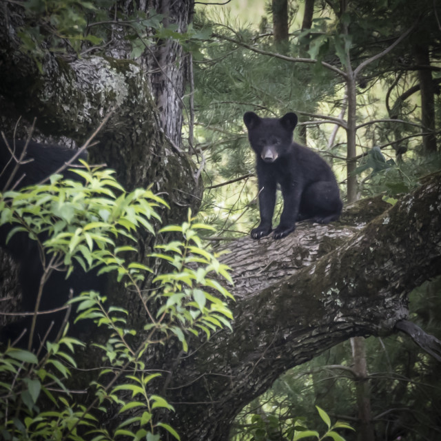 """Black Bear Cub"" stock image"
