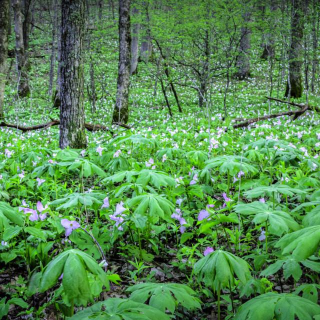 """""""Trilliums Galore"""" stock image"""