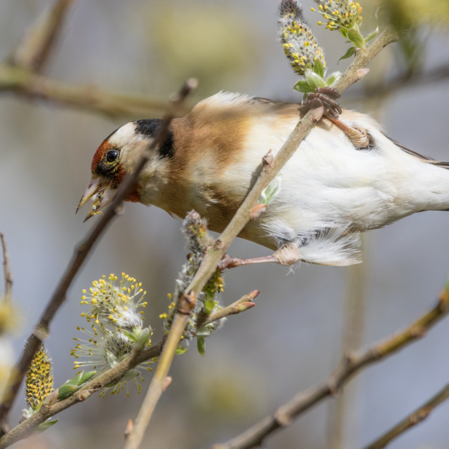 """Goldfinch Feeding"" stock image"
