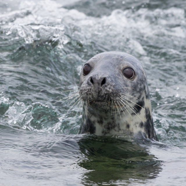 """Curious Grey Seal"" stock image"