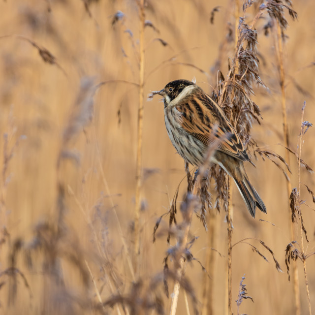 """Male Reed Bunting"" stock image"