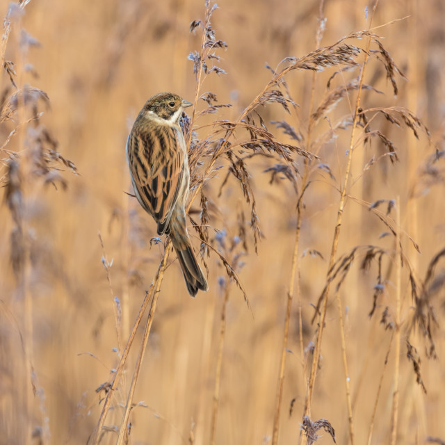 """Female Reed Bunting"" stock image"