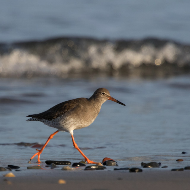"""Redshank Walking"" stock image"