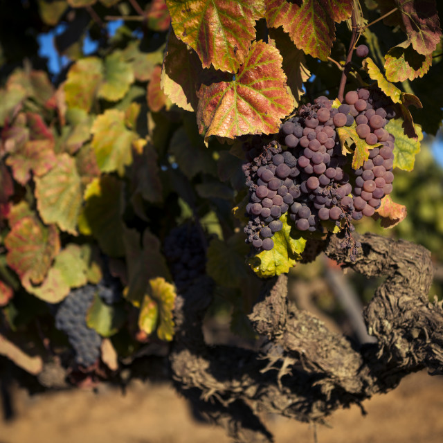 """Detail of grapes in a wine estate in the Douro Region in Portugal"" stock image"