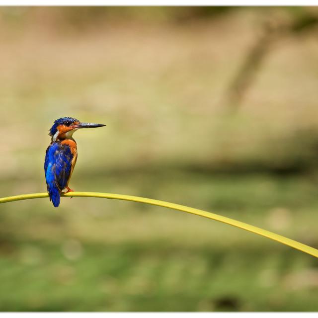 """""""Madagascar Malachite Kingfisher"""" stock image"""