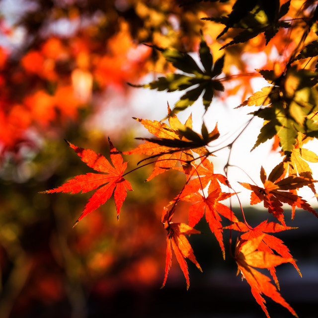 """""""autumn red Maple leaves background"""" stock image"""