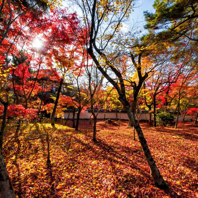 """""""Fall leaf colors at Eikando temple, Kyoto"""" stock image"""