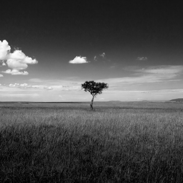 """Lone Acacia Tree"" stock image"