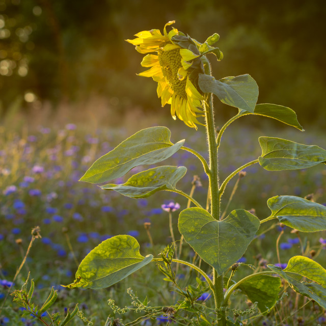 """sunflower in the meadow in the evening light"" stock image"