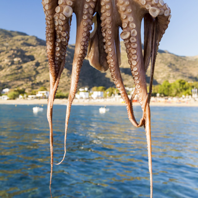 """Octopus drying in the sun"" stock image"